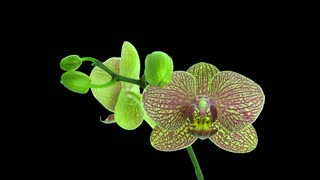 Time-lapse of opening Phalaenopsis KV Charmer orchid with red stripes 1a1 with ALPHA transparency channel isolated on black background