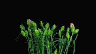 Time-lapse of opening pink (Dianthus) flower bush 3x3 in RGB + ALPHA matte format isolated on black background