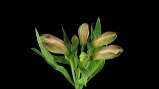 Time-lapse of opening pink Peruvian Lilies 5b3 in RGB + ALPHA matte format isolated on black background