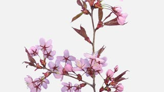 Time-lapse of opening pink sakura blossoms 5c1w with ALPHA transparency channel isolated on white background