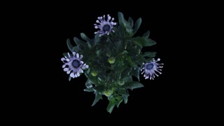 Time-lapse of opening Rain Daisy (Dimorphotheca pluvialis) flowers 2x1 with ALPHA transparency channel isolated on black background, top view