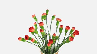Time-lapse of opening red Dianthus flower 2x7w in 4K format with ALPHA transparency channel isolated on white background