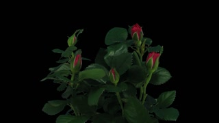 Time-lapse of opening red roses bouquet 1b1 in PNG+ format with ALPHA transparency channel isolated on black background