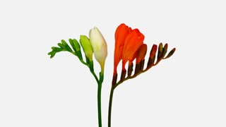 Time-lapse of opening white and orange freesia flower buds 5a1w with ALPHA transparency channel isolated on white background