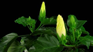 Time-lapse of opening white chinese rose (Hibiscus) 6a3 in RGB + ALPHA matte format isolated on black background