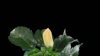Time-lapse of opening white chinese rose (Hibiscus) 8a3 in RGB + ALPHA matte format isolated on black background