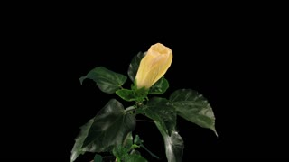 Time-lapse of opening white chinese rose (Hibiscus) 9a3 in RGB + ALPHA matte format isolated on black background