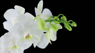 Time-lapse of opening white orchid 10b3 in RGB + ALPHA matte format isolated on black background
