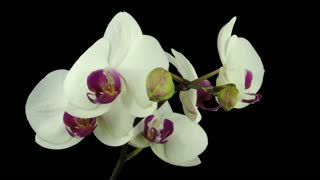 Time-lapse of opening white orchid 8a1 in PNG+ format with ALPHA transparency channel isolated on black background