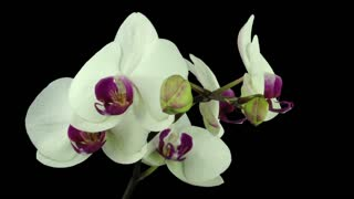 Time-lapse of opening white orchid 8a3 in RGB + ALPHA matte format isolated on black background