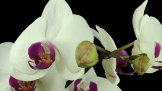 Time-lapse of opening white orchid 8b1 in PNG+ format with ALPHA transparency channel isolated on black background.