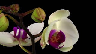 Time-lapse of opening white orchid 9a3 in RGB + ALPHA matte format isolated on black background