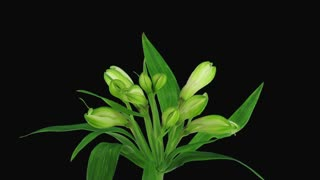 Time-lapse of opening white Peruvian Lily flower 9b3 in RGB + ALPHA matte format isolated on black background