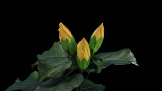 Time-lapse of opening yellow chinese rose (Hibiscus) flower 1x3 in RGB + ALPHA matte format isolated on black background