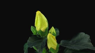 Time-lapse of opening yellow chinese rose (Hibiscus) flower 6b1 in PNG+ format with ALPHA transparency channel isolated on black background