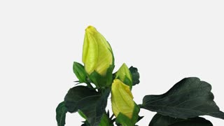 Time-lapse of opening yellow chinese rose (Hibiscus) flower 6b1w with ALPHA transparency channel isolated on white background