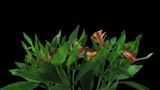 Time-lapse of opening yellow-red Peruvian Lily (Alstroemeria Casablanca) 1c1 in PNG+ format with ALPHA transparency channel isolated on black background
