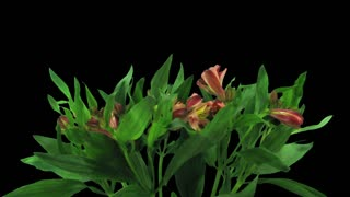 Time-lapse of opening yellow-red Peruvian Lily (Alstroemeria Casablanca) 1c3 in RGB + ALPHA matte format isolated on black background