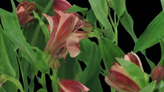 Time-lapse of opening yellow-red Peruvian Lily (Alstroemeria Casablanca) 2b3 in RGB + ALPHA matte format isolated on black background