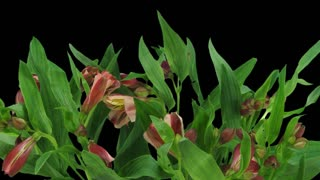 Time-lapse of opening yellow-red Peruvian Lily (Alstroemeria Casablanca) 3b1 with ALPHA transparency channel isolated on black background