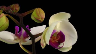 Tl OrcTime-lapse of opening white orchid 9a1 with ALPHA transparency channel isolated on black backgroundhid White 09 A 25 Fps 1080 P 30 S Blabg 90 Q Png
