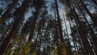 Sunset in summer pine forest