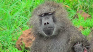 A baboon falls asleep while being groomed.