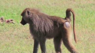 A baboon walks through the grass in Africa.