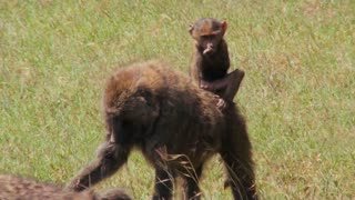 A baby baboon rides on her mothers back.