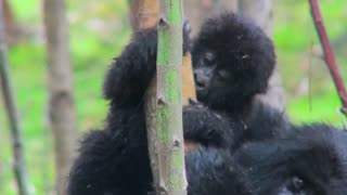 A baby mountain gorilla rides on its mothers back in the rainforest of Rwanda.