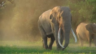 A beautiful majestic giant elephant stands in early morning light with massive tusks.