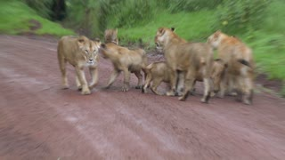 A brood of lions walks along a road in Africa.