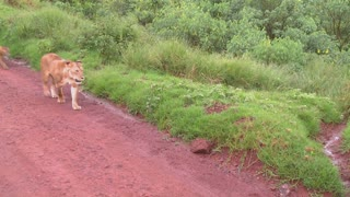 A female lion walks with babies along a road in Africa.