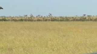 A giraffe crosses a golden savannah in Africa.