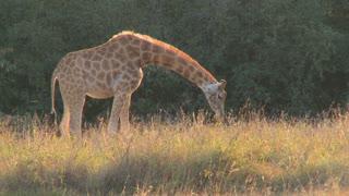 A giraffe grazes in golden grass on the African savannah.