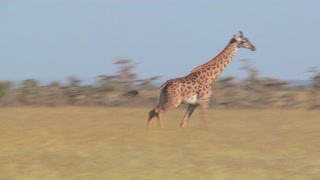 A giraffe runs across the savannah in Africa.