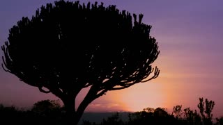A gorgeous sunset behind a cactus tree on the savannah of East Africa.