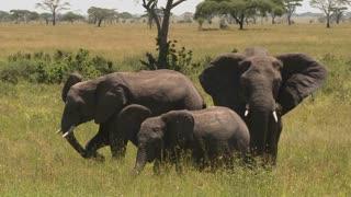 A group of three elephants graze on the Serengeti plains.