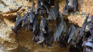 A groups of bats hang on a wall at the Pura Goa Lawah Temple, or  the Bat Cave Temple in Indonesia.