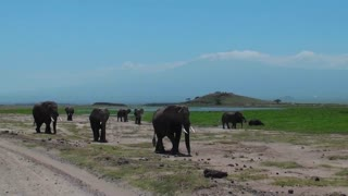 A herd of elephants approaches with Mt. Kilimanjaro in the background.