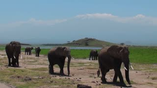 A herd of elephants walk past with Mt. Kilimanjaro in the background.