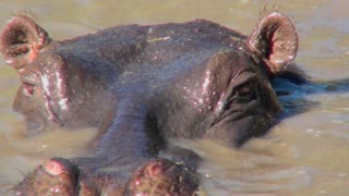 A hippo looks out of a river and stares at us.