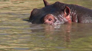 A hippo peers out of a watering hole in Africa.