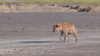 A hyena walks along a road in the savannah of Africa.