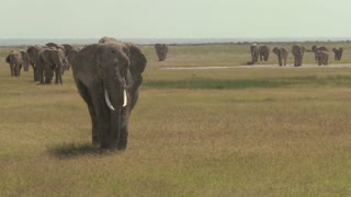 A large herd of African elephants migrate across Amboceli National Park in Tanzania.