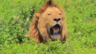 A male lion looks at us with mouth open and big mane.