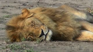 A male lion sleeps on the ground covered with flies.