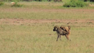 A mother baboon carries her baby across the savannah in Africa.