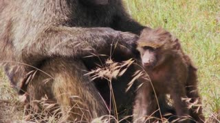 A mother baboon picks fleas and ticks off of her baby during this grooming ritual.