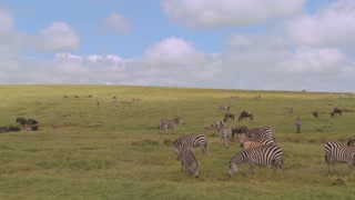 A pan across the African savannah with zebras and wildebeest grazing.
